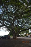 Cool tree in parking lot.JPG