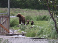 SAM_0716_Sow and 2 cubs.JPG