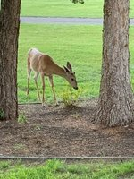 columbi falls deer.jpg