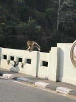 Monkey business on bridge IMG_5057.JPG