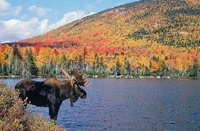 CO moose.jpg