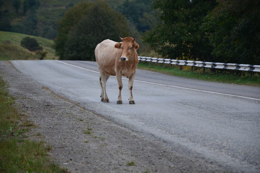 animals on the road